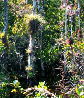 Air plants hanging on tree trunks off loop trail in everglades national park florida - Flowers that grow on tree trunks ...